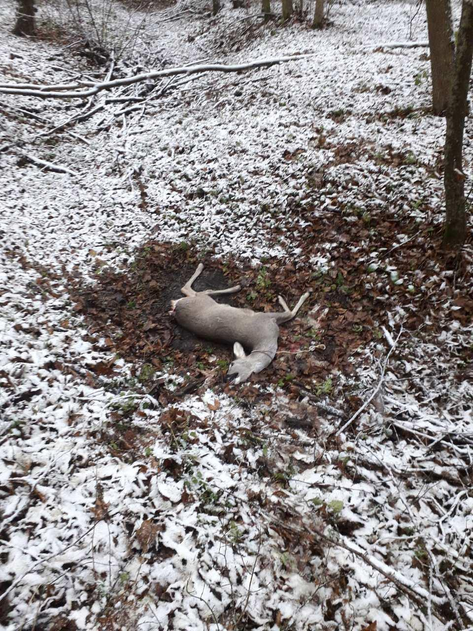 У Чечельницькому районі браконьєри вбили козулю (Фото)