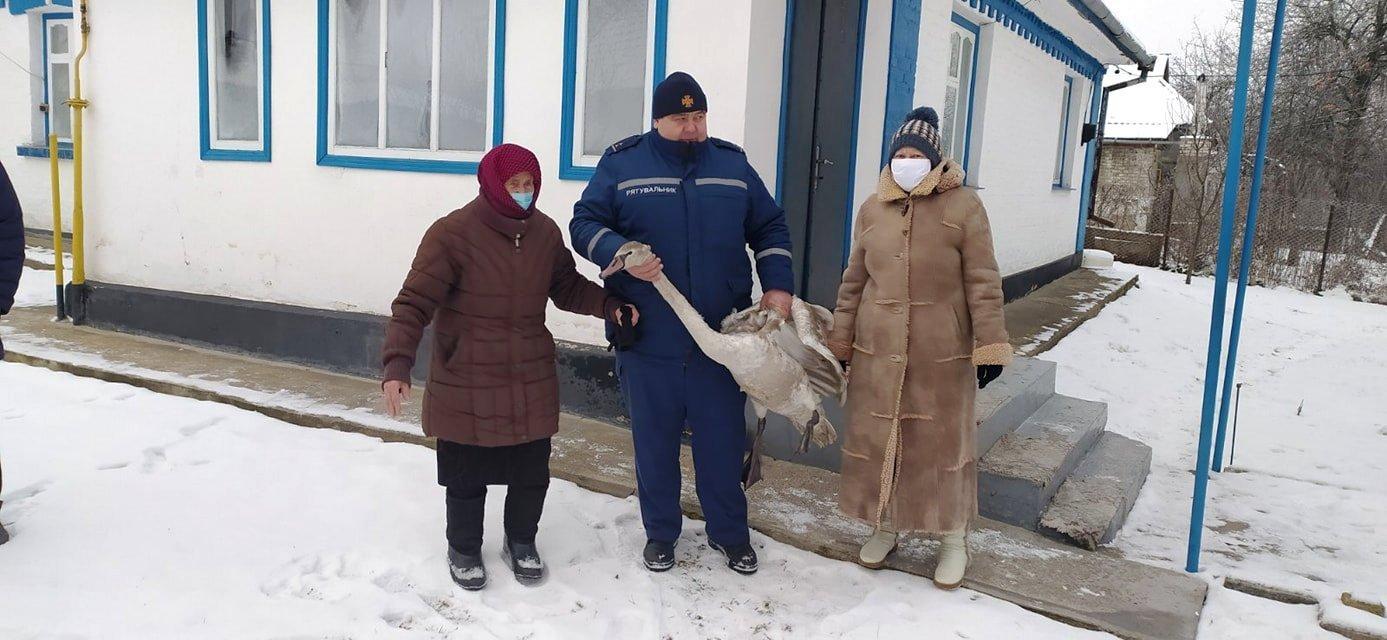 На Вінниччині врятований лебідь почав тероризувати людей, які його прихистили(Фото)