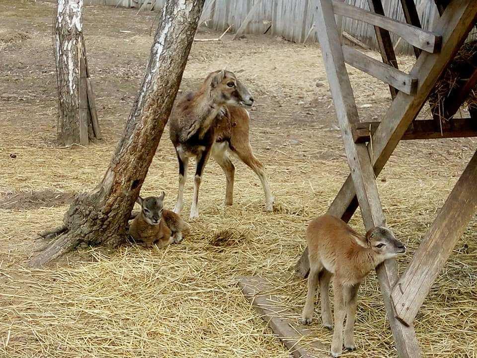 У вінницькому зоопарку народилось троє малюків муфлонів (Фото)