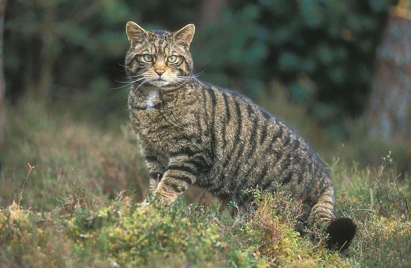На Вінниччині побільшало лісових котів. Тварину все частіше зустрічають в різних районах області