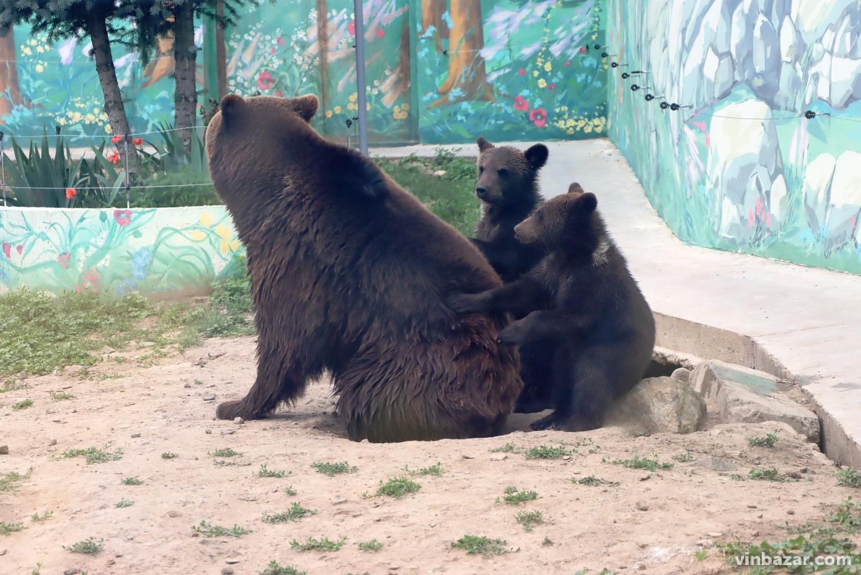 У зоопарку Вінниці вже можна побачити новонародженихведмежат. Малюкиграються під наглядом матусі (Фото+Відео)