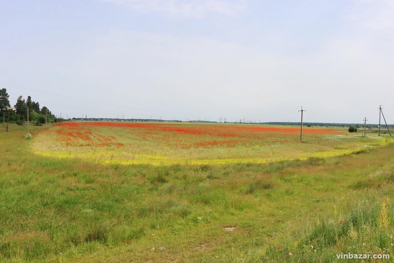 Біля Калинівки зацвіло поле диких маків (Фото+Відео)